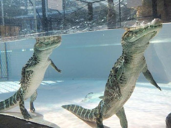 Вот что на самом деле делает крокодил в этот момент (3 фото)