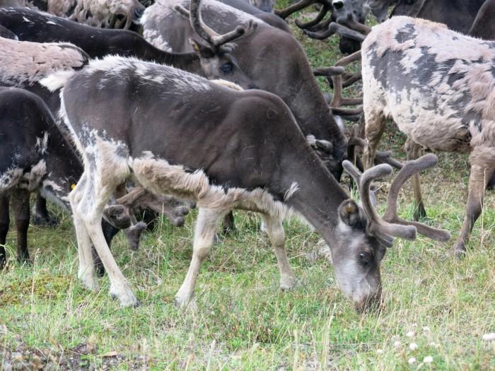В гостях у чукотских оленеводов (29 фото)
