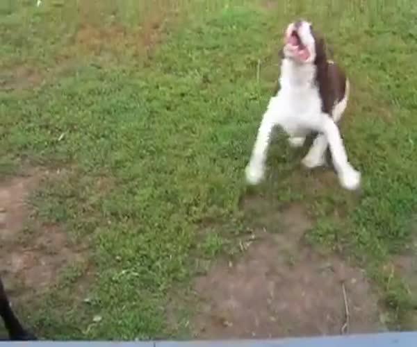 Слепой пес играет с хозяйкой