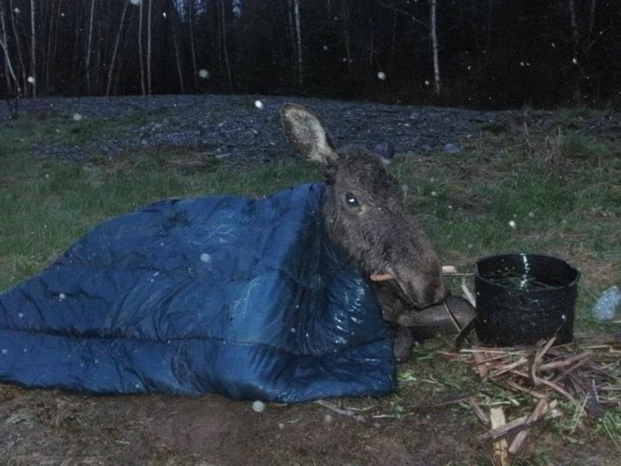 Спасение годовалого лося (7 фото)