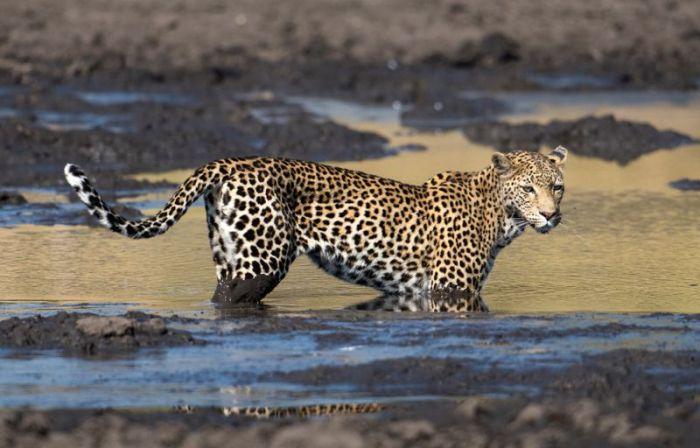 Леопард «порыбачил» в грязи (9 фото)