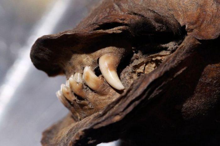 В Сибири обнаружили мумифицированного щенка возрастом 12 000 лет (8 фото)