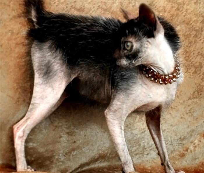Самые необычные животные, появившиеся на свет благодаря селекции (7 фото)