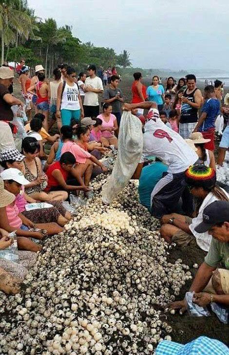 В Коста-Рике люди помешали черепахам отложить яйца (11 фото)
