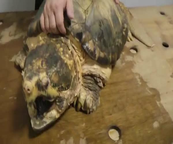 Грифовая черепаха расправилась с ананасом