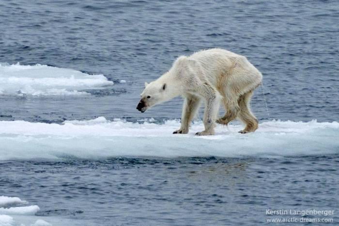 Снимок истощенного белого медведя напугал общественность (2 фото)