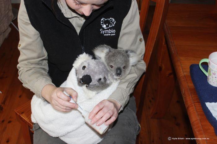 Милая коала обрела новую семью (7 фото + видео)