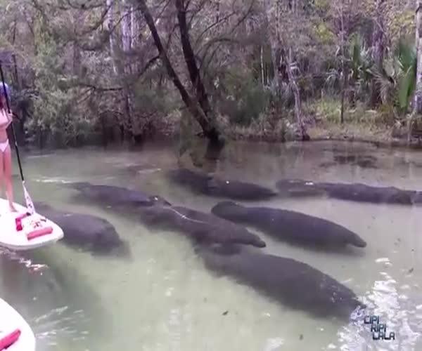 Группа ламантинов проплыла под туристами