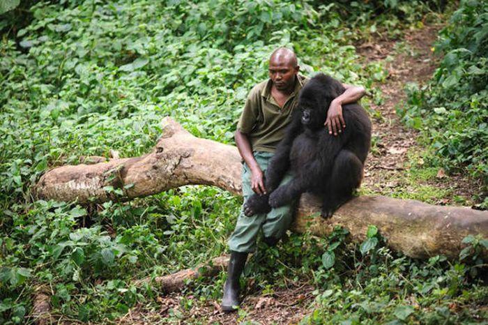 Грустное фото: мужчина утешает гориллу (2 фото)