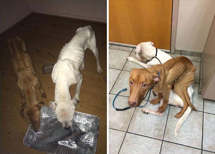 Из ходячих скелетов в здоровых и жизнерадостных собак (6 фото)