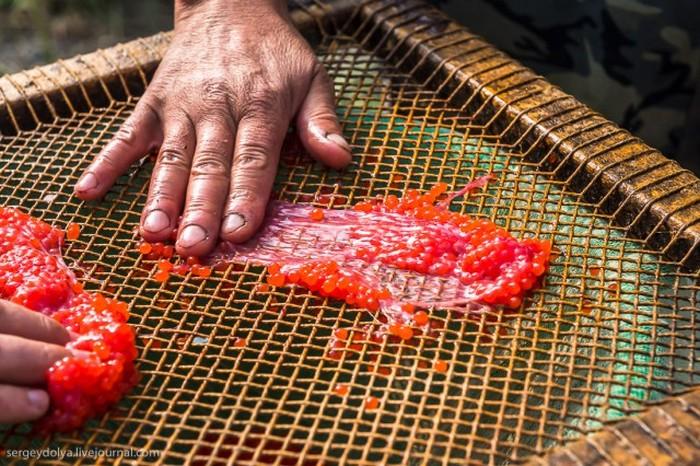 Как делают красную икру-пятиминутку (20 фото)