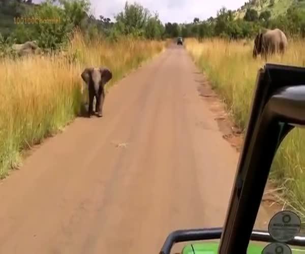 Слоненок пытается атаковать автомобиль