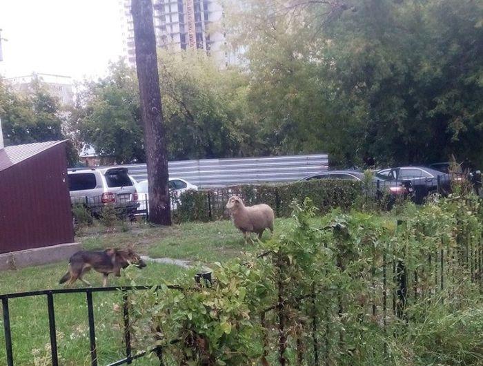 В Новосибирске с праздника Курбан-байрам сбежал баран