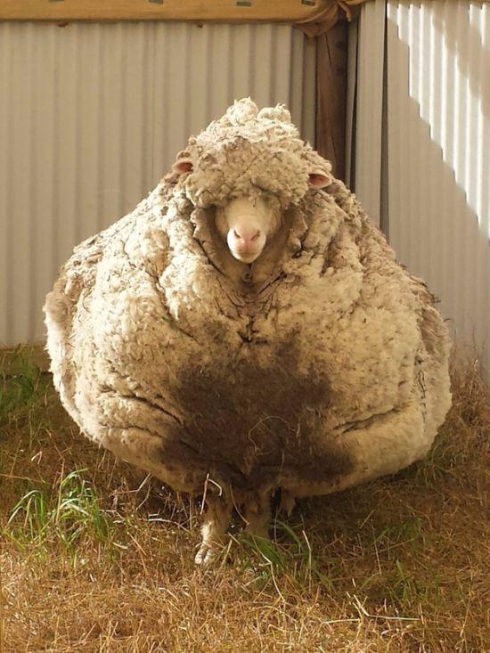 В Австралии с заблудшей овцы состригли 40 кг шерсти (8 фото)