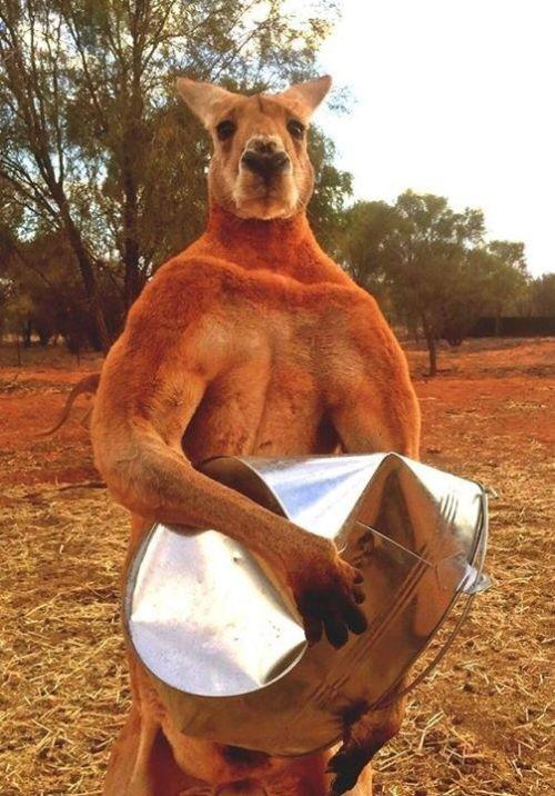 Поединок кенгуру (3 гифки)