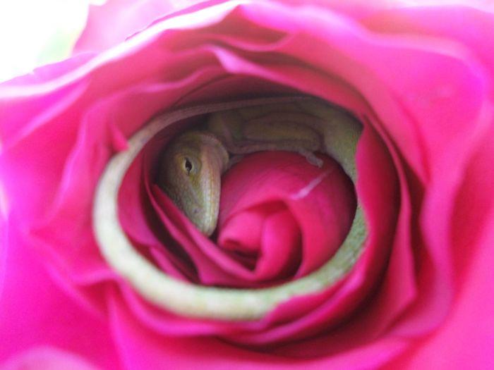 Милая находка внутри розы (2 фото)