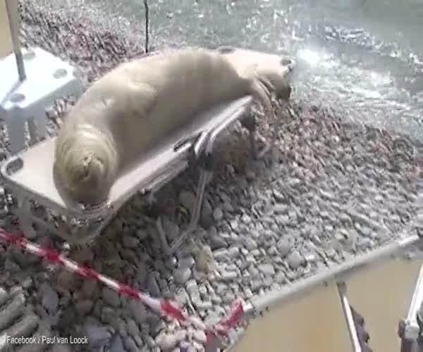 Морской лев загорает на шезлонге
