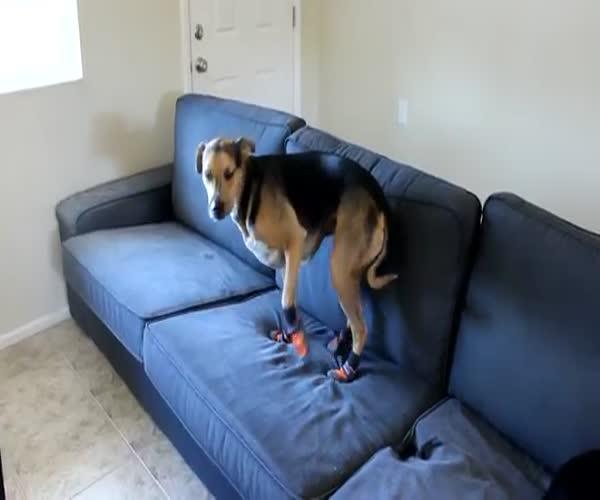 Пес привыкает к своей обуви