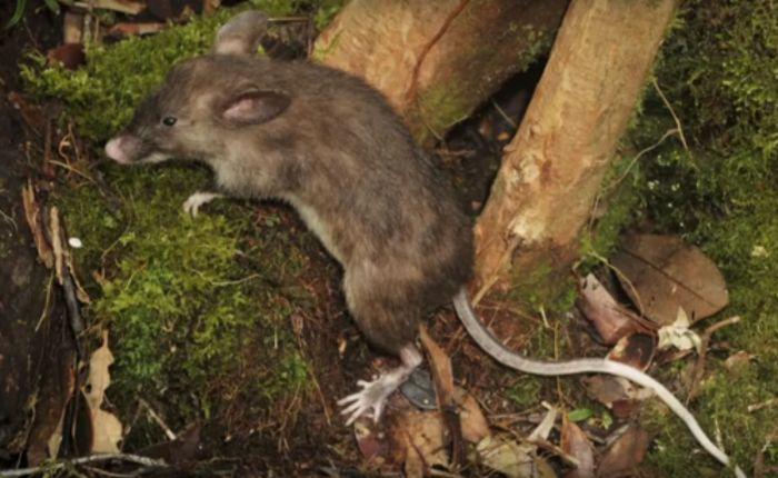 В Индонезии обнаружили новой вид грызунов (4 фото)