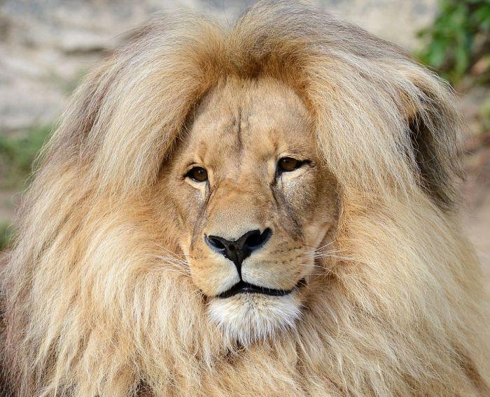 В чешском зоопарке живет лев с самой ухоженной гривой (9 фото)