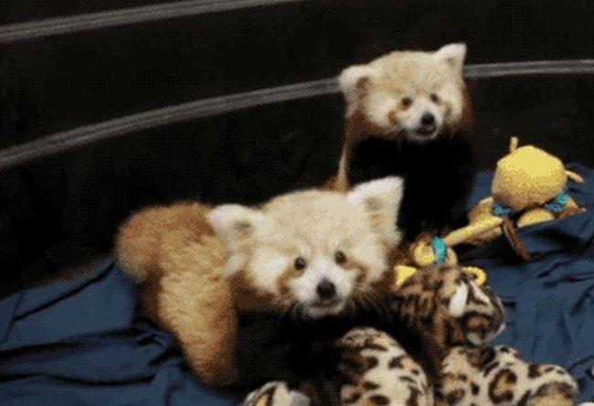 Красная панда - милота дня (5 гифок)