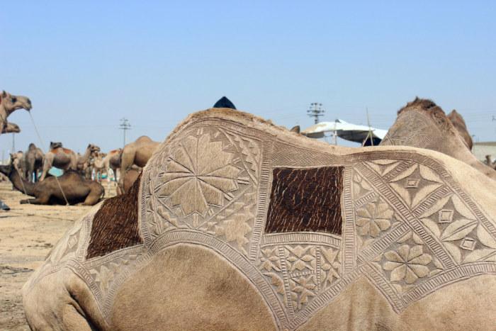 Верблюжья стрижка в Пакистане (7 фото)