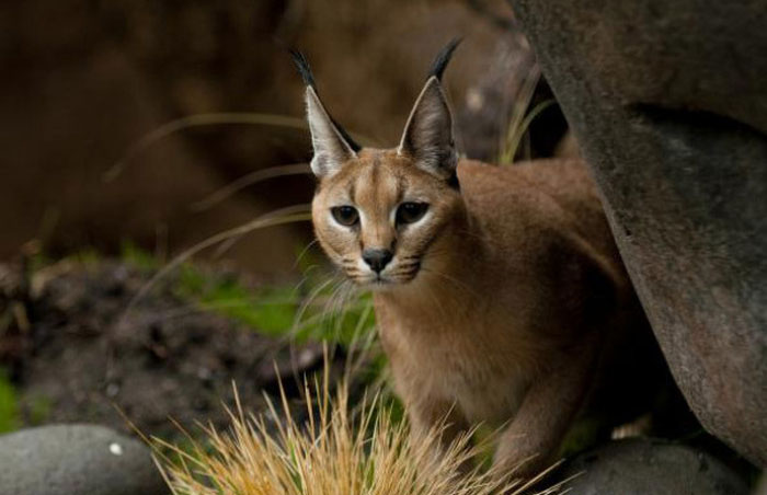 В Орегонском зоопарке впервые показали детенышей каракала (9 фото)