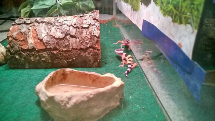 Как парень вырастил детенышей ящерицы геккона (14 фото)