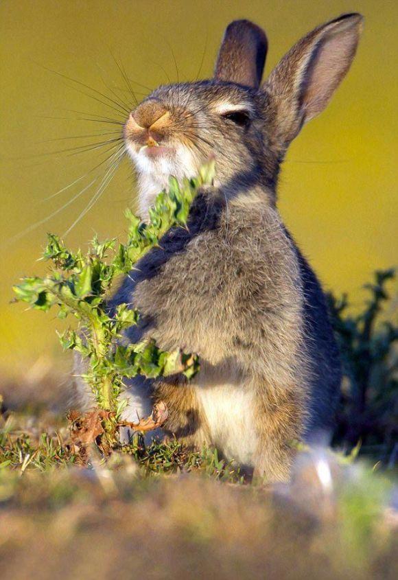 Реакция кролика, решившего съесть чертополох (4 фото)