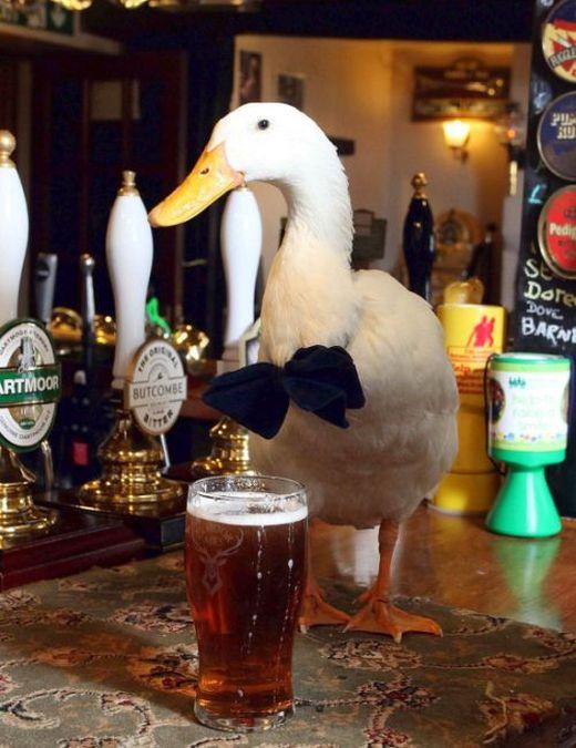 Любящая пиво утка стала талисманом британского паба (7 фото)