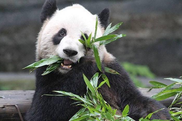 В Канадском зоопарке произошел первый в стране случай размножения панд в неволе (4 фото)