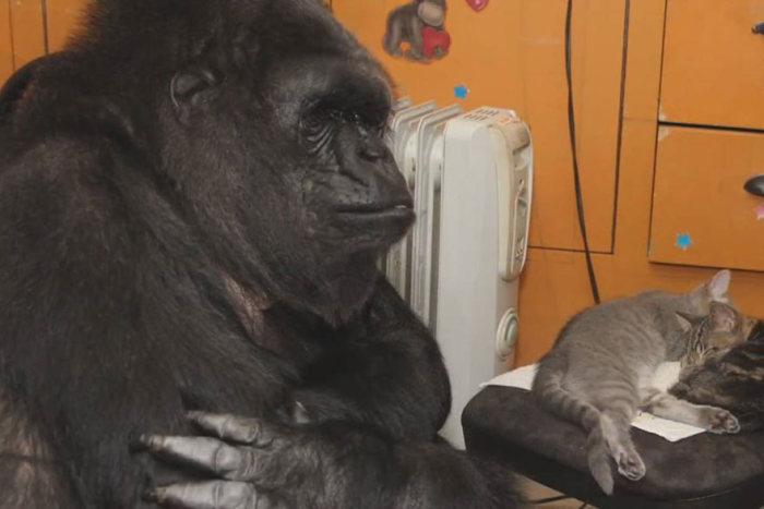 Горилла по кличке Коко будет воспитывать котят (7 фото)