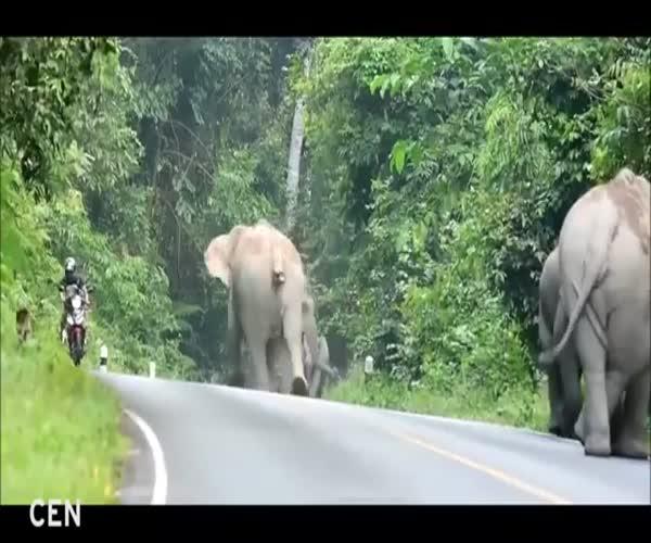 Почему не стоит обгонять слонов на мотоцикле