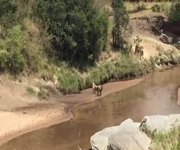 Лев и гну неожиданно меняются местами
