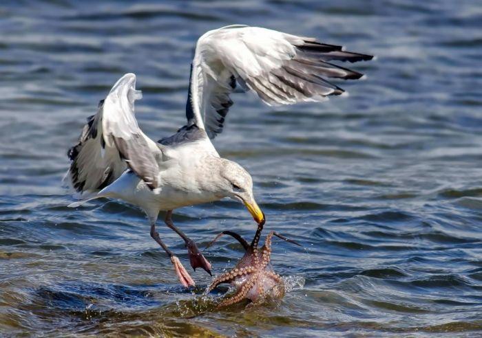Чайка охотится на осьминога (6 фото)