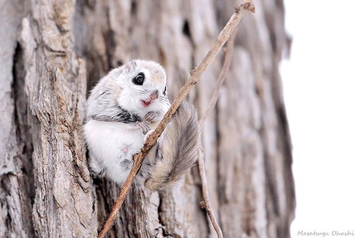 Японские или сибирские белки-летяги - одни из самых милых зверьков на земле (12 фото)