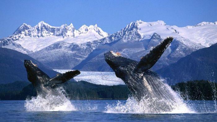 Трогательная история спасения китов, объединившая непримиримых соперников (5 фото)