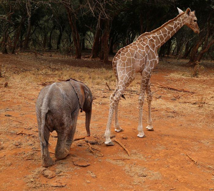 В Кении детеныш жирафа подружился со слоненком (12 фото)