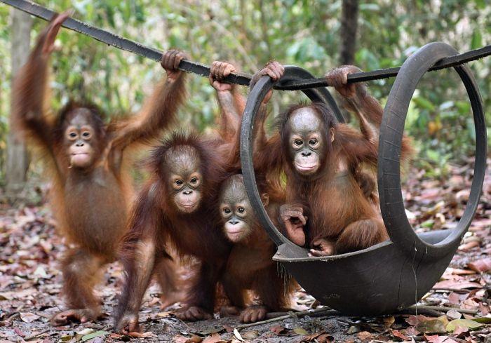Спасенные детеныши орангутана быстро освоились на новом месте (11 фото)