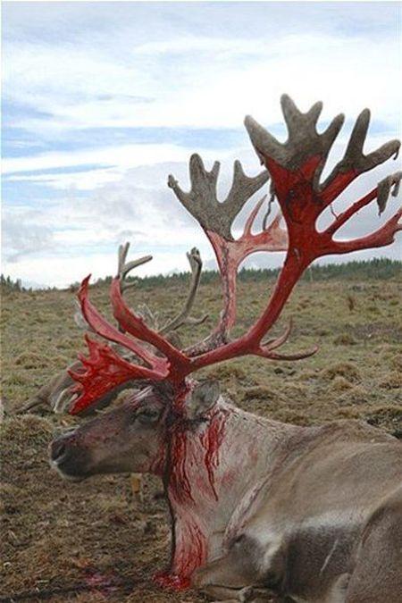 Так выглядят новые оленьи рога, когда с них слазит кожа (4 фото)