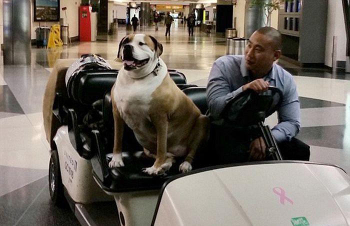 Страдающий ожирением пес летает бизнес-классом (4 фото)