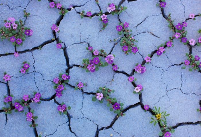 Чилийская пустыня Атакама покрылась цветами, окрасившими ее в розовый цвет (14 фото)