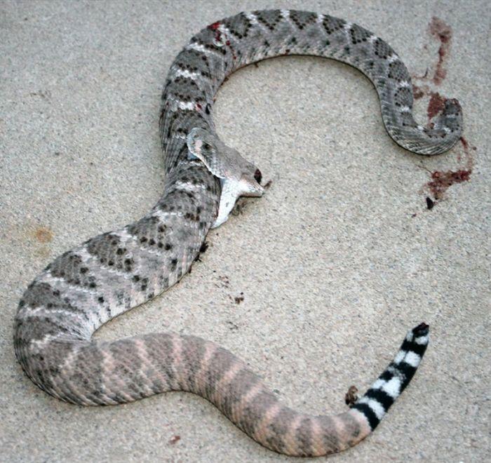 Обезглавленная гремучая змея укусила саму себя (5 фото)
