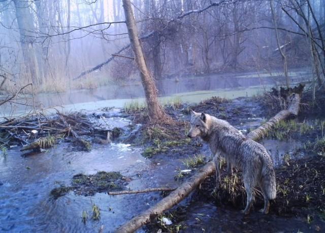 В зоне отчуждения ЧАЭС значительно увеличилась популяция животных (8 фото)