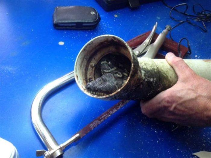 В Австралии питон застрял в водосточной трубе (5 фото)