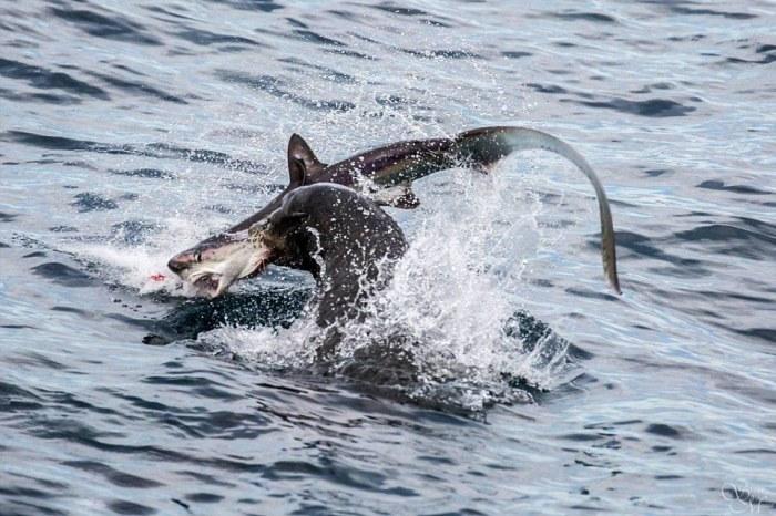 Морской лев отобедал акулой (5 фото)