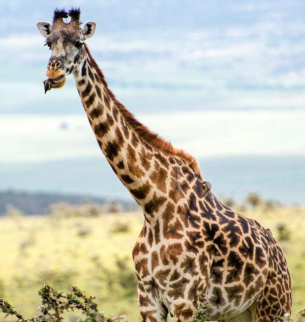Жираф на приеме у «пернатого стоматолога» (6 фото)