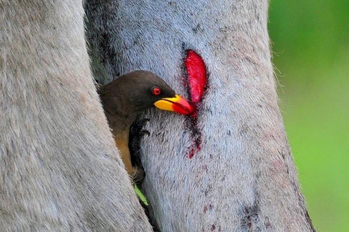 Знакомство с красноклювым волоклюем (19 фото)