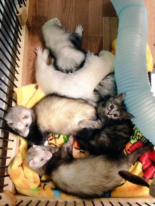 Хорьки приютили и вырастили котенка (12 фото)