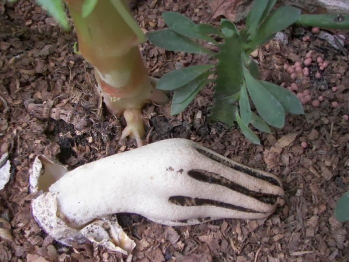 Интересный гриб Антурус Арчера или «пальцы дьявола» (4 фото)